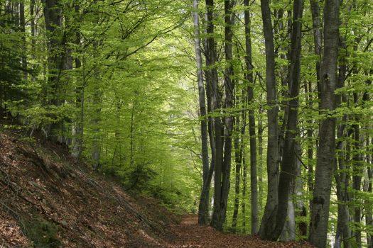 beech forest in Pirin