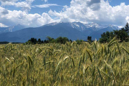view of Pirin among wheat